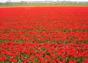paisajes de flores rojas