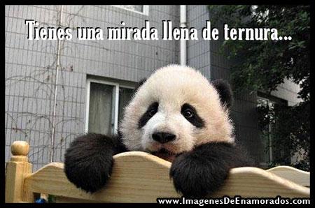 Imágenes de ositos panda con frases de amor | Imagenes de amor gratis