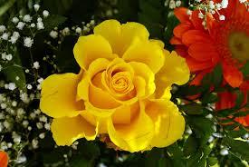 rosas amarillas 3