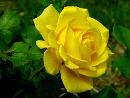 rosas amarillas 4