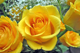 rosas amarillas 5