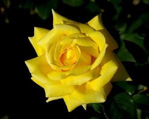 rosas amarllas