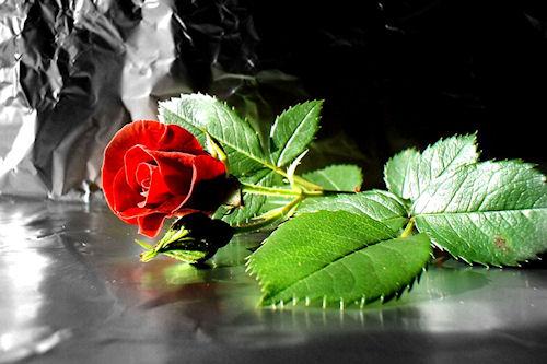 Imagenes De Rosas Con Movimiento: Lindas Rosas Con Brillo Y Movimiento