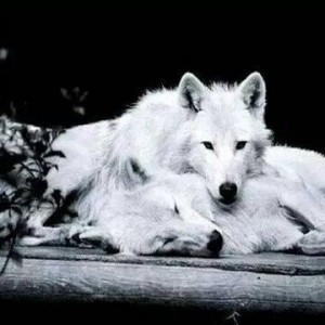 imagenes-de-lobos-enamorados-4-300x300