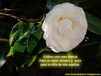 imagenes-animadas-rosas-blancas-3