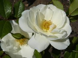 rosas blandcas