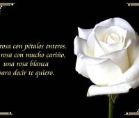 Imágenes de rosas blancas con poemas