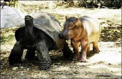 tortuga-e-hipopotamo