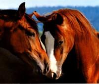 Imágenes de caballos enamorados