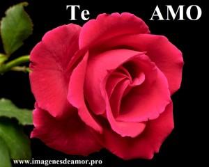 rosa-hermosa2
